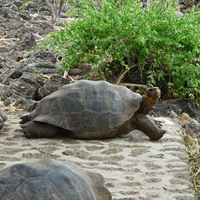 """""""Stretched Out Galapagos Tortoise"""" stock image"""