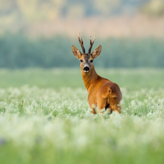 """Roe deer buck with dark antlers on a meadow with wildflowers in the morning"" stock image"