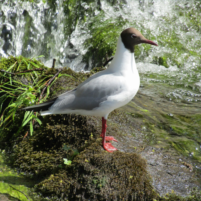 """""""Gull at waterfall bottom in Norway"""" stock image"""