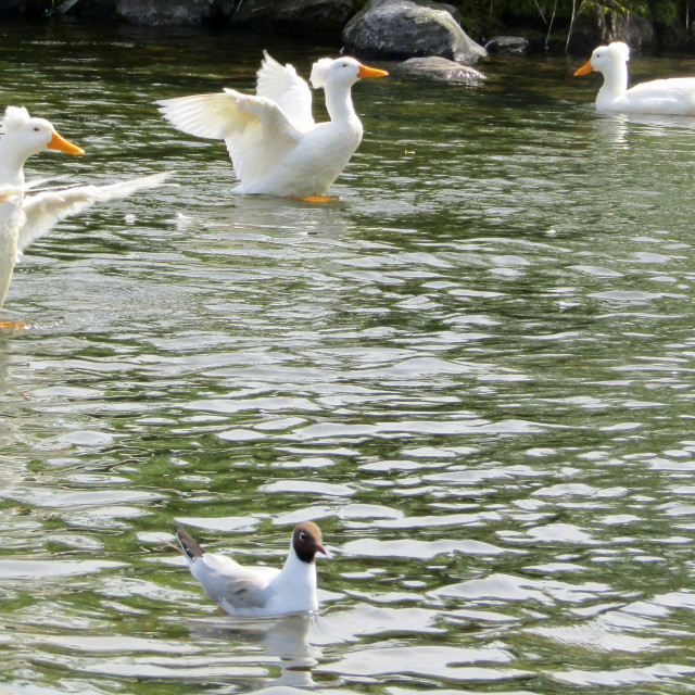 """3 white crested ducks and gull"" stock image"