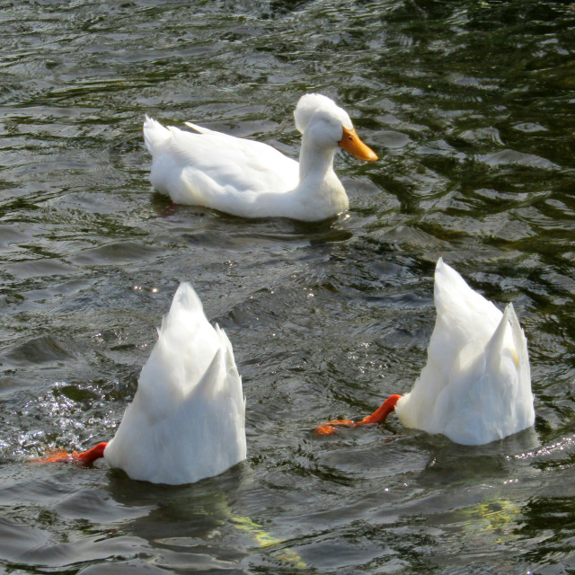 """""""3 up and down white crested ducks"""" stock image"""