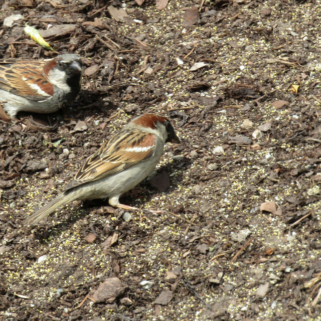 """3 sparrows feeding"" stock image"