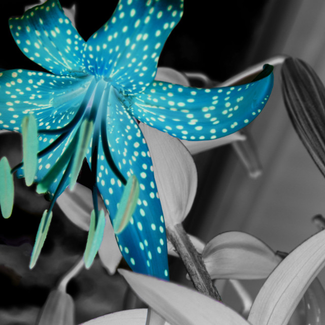 """blue lily"" stock image"