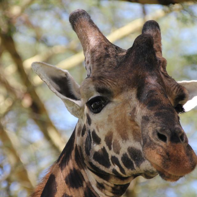 """Reticulated Giraffe"" stock image"