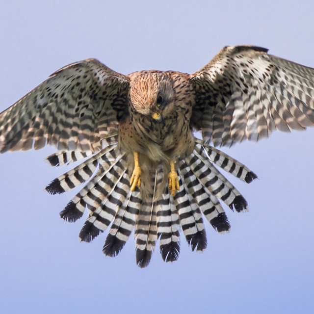 """""""A Kestrel flies over for a closer look."""" stock image"""