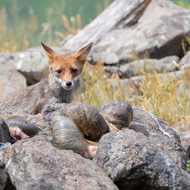 """European red fox - Vulpes vulpes crucigera"" stock image"