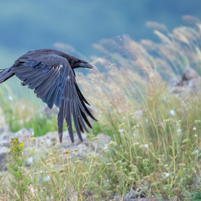 """Corvus corax - Common raven"" stock image"
