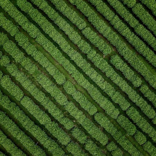 """Aerial: Tea Plantation"" stock image"