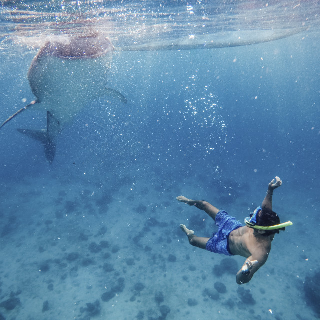 """Shirtless man snorkeling by whale shark undersea"" stock image"