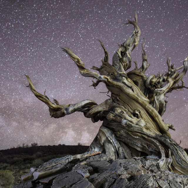 """""""Bristlecone tree against star field at night"""" stock image"""