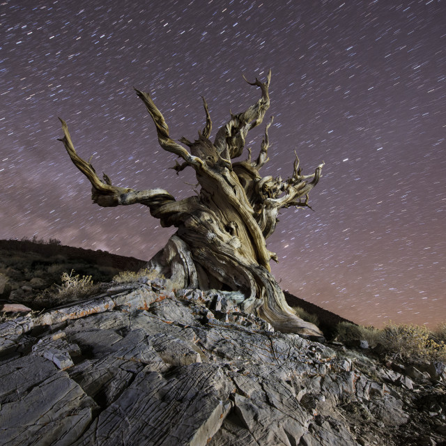 """""""Low angle view of Bristlecone Pine against star trails at night"""" stock image"""