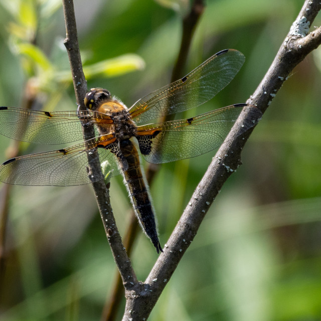 """""""Four-spotted chaser"""" stock image"""