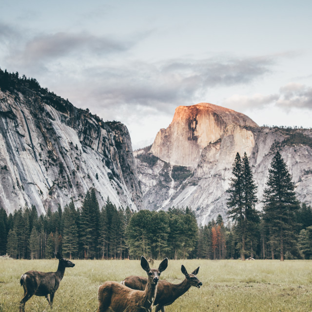 """Deers with Half Dome"" stock image"