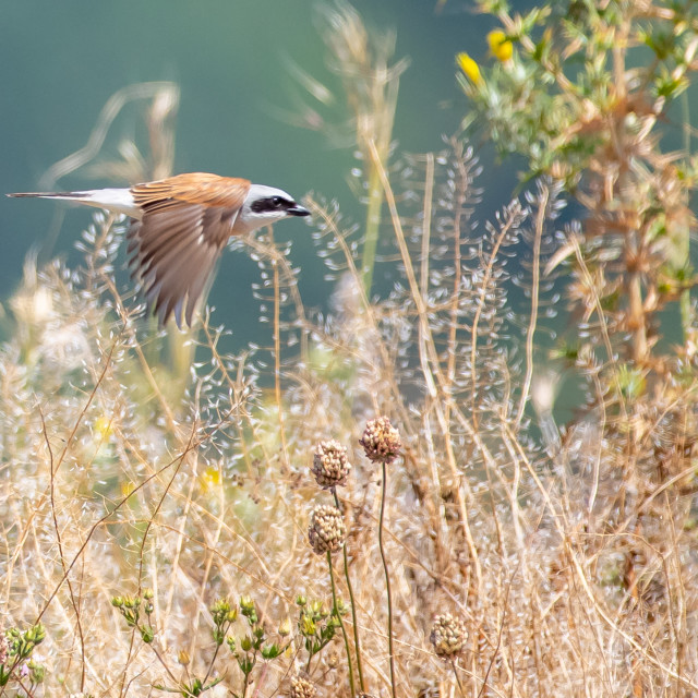 """Red-backed shrike in flight - Lanius collurio"" stock image"