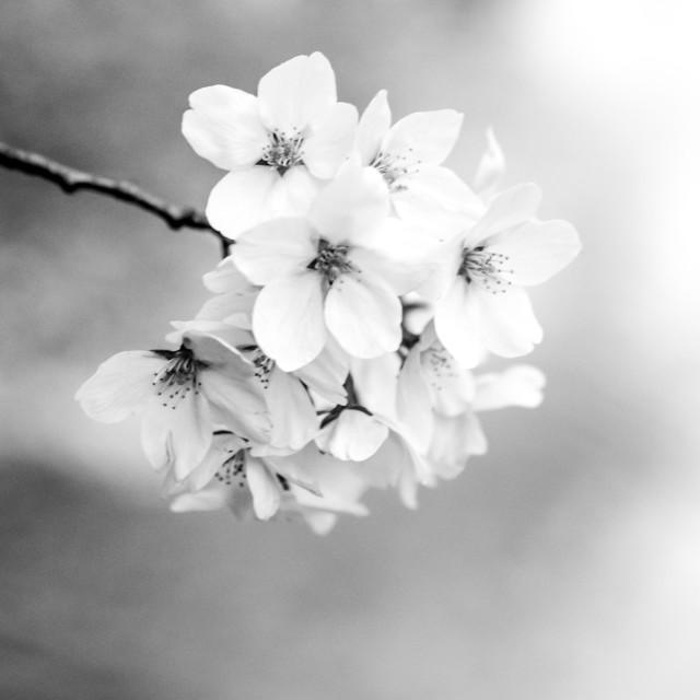 """Cherry tree flower"" stock image"