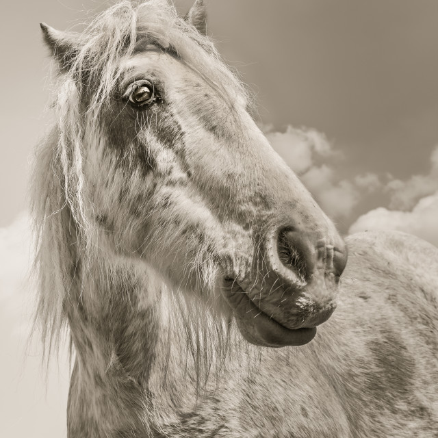 """A gypsy Cob working horse"" stock image"