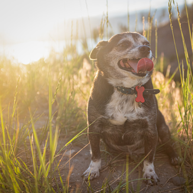 """Chubby Chihuahua Dog At Sunset"" stock image"
