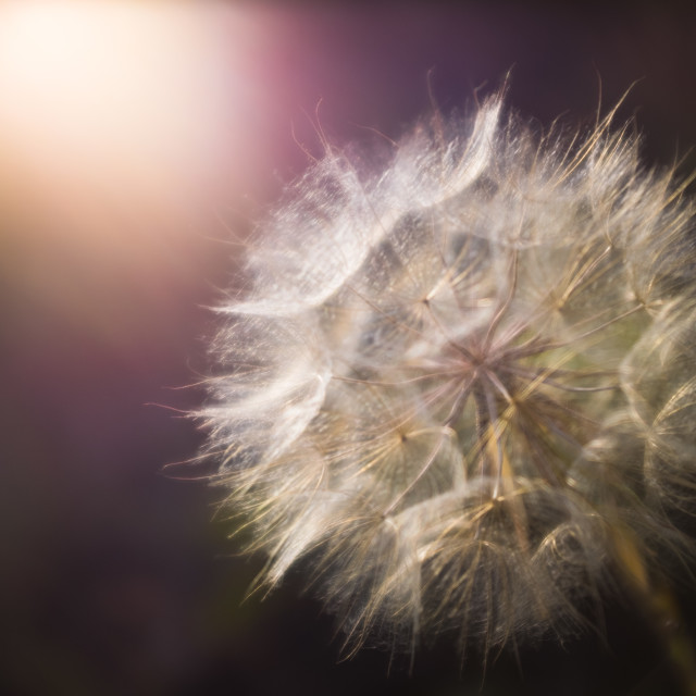 """Soft Focus Dandelion At Sunset"" stock image"
