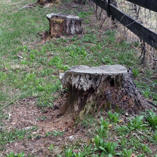 """4 stumps and a fence"" stock image"