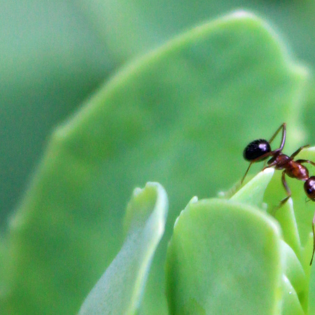 """""""ant on a leaf"""" stock image"""