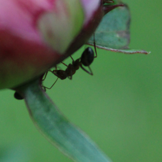 """ant on peony flower"" stock image"