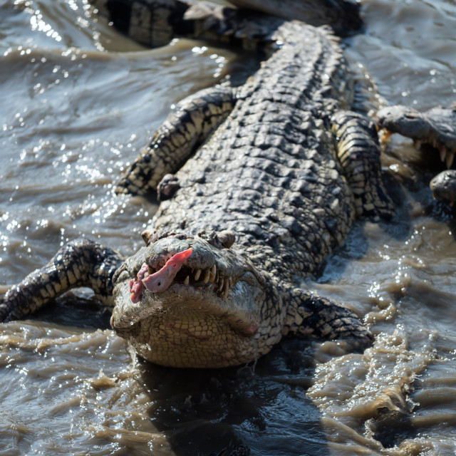 """""""crocodile eat meat feeding by visitor on mud pond"""" stock image"""