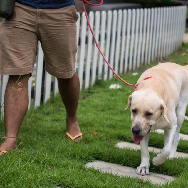 """""""Man walk with Labrador retriever dog"""" stock image"""