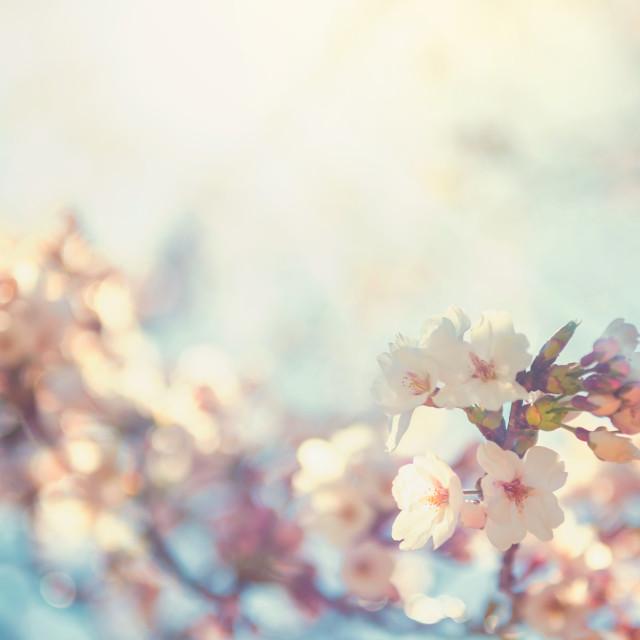 """""""cherry blossom or sakura against sun light"""" stock image"""