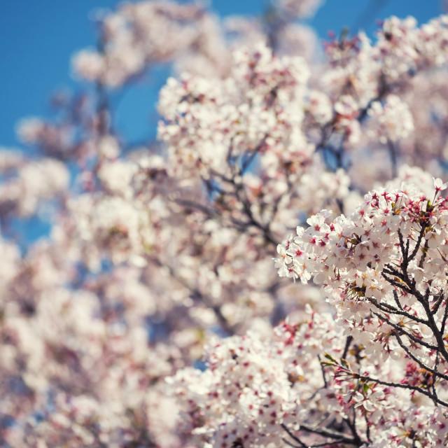 """Cherry blossom or sakura and blue sky"" stock image"