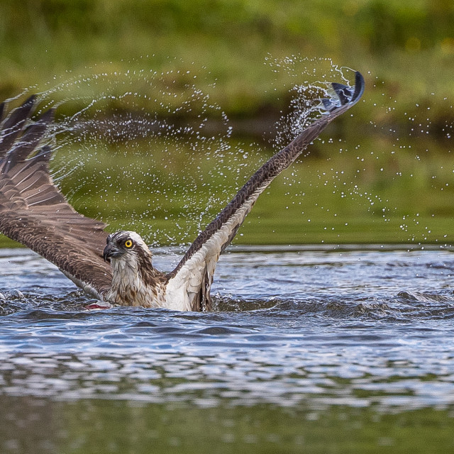 """""""Osprey fishing in water"""" stock image"""