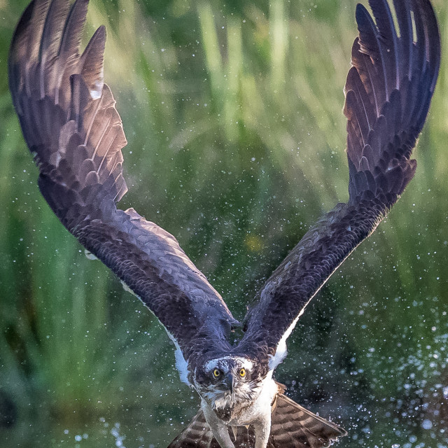 """Osprey fishing with trout"" stock image"