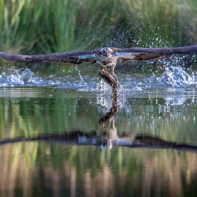 """""""Osprey fishing with trout , and reflection in water"""" stock image"""