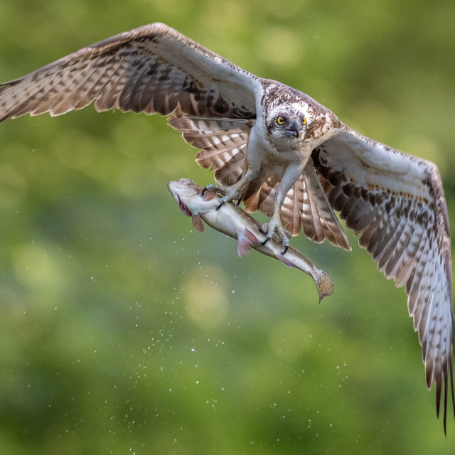 """""""Osprey fishing with trout"""" stock image"""