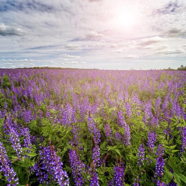 """""""Flower field"""" stock image"""