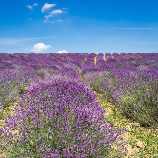 """Lavender field in Piedmont"" stock image"
