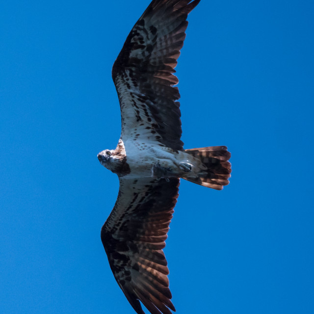 """""""Osprey looking down"""" stock image"""