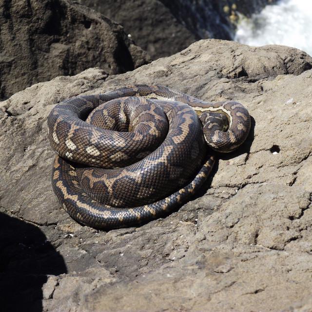 """Big fat carpet Snake"" stock image"