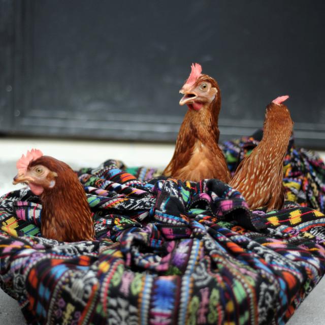 """Fowls seen in Panajachel, Solola, Guatemala."" stock image"