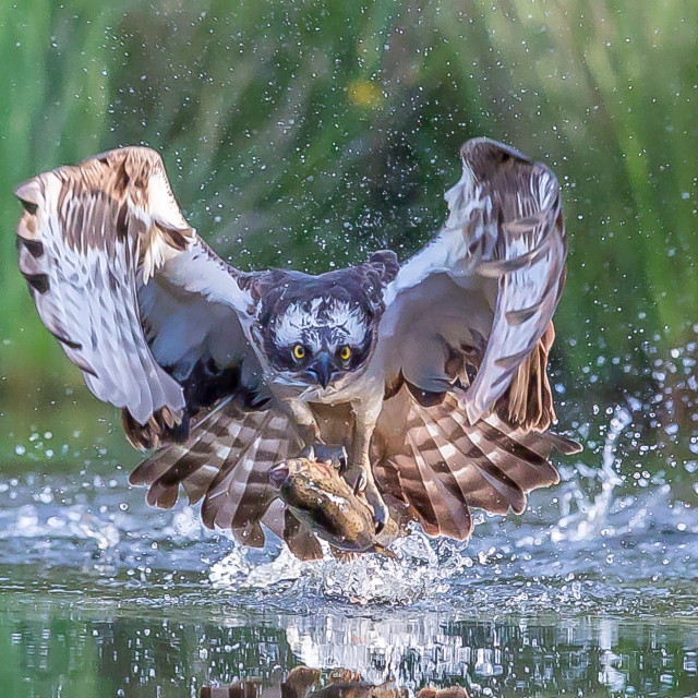 """""""osprey with trout"""" stock image"""