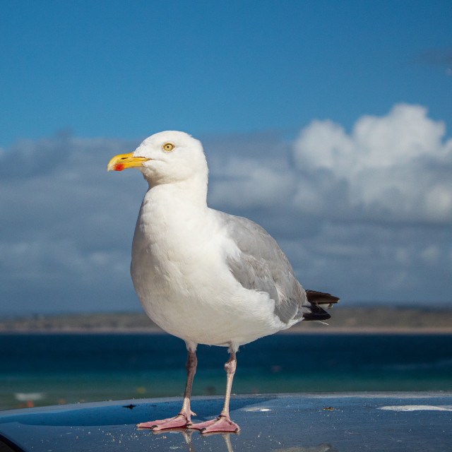 """Seagull Close-Up"" stock image"