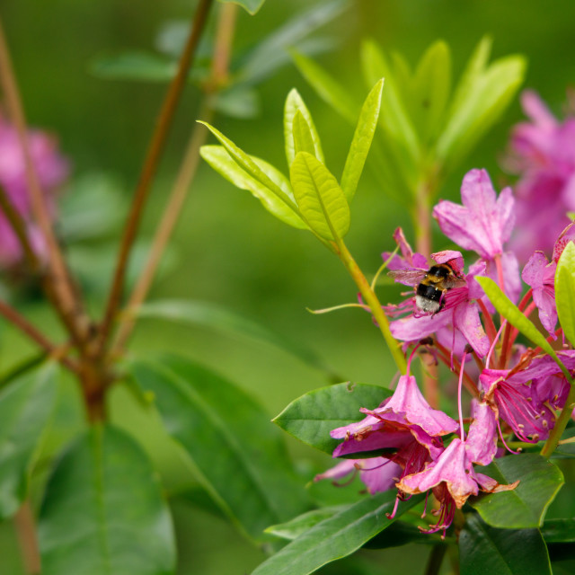 """Wild Rhododendron"" stock image"