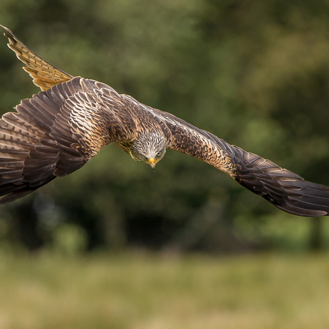 """Red kite Milvus milvus"" stock image"