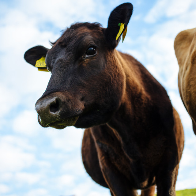 """Young Jersey Cow"" stock image"
