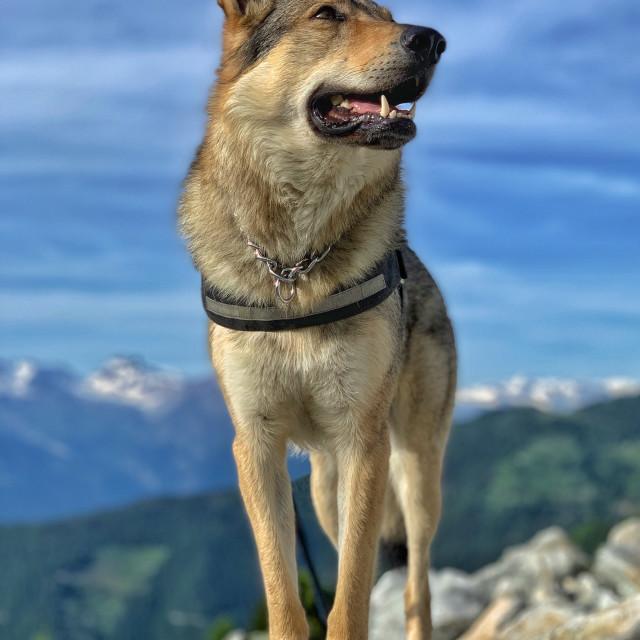 """""""Mountain dog"""" stock image"""