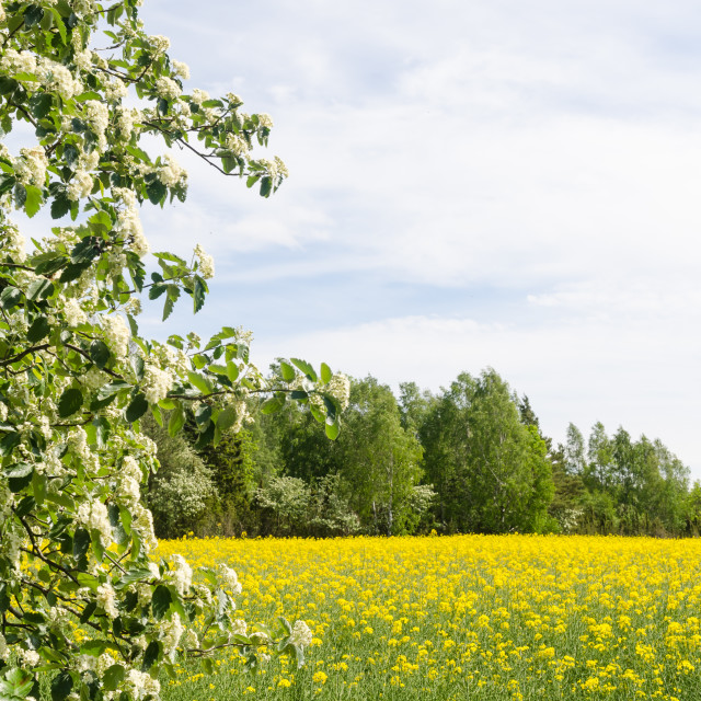 """Blossom rapefield field with green and white branches"" stock image"