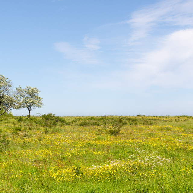 """Green wide open grassland filled with yellow flowers by springti"" stock image"