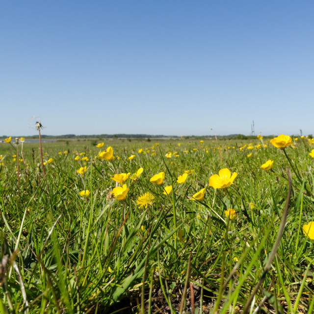 """Field with beautiful yellow Buttercups closeup by springtime"" stock image"