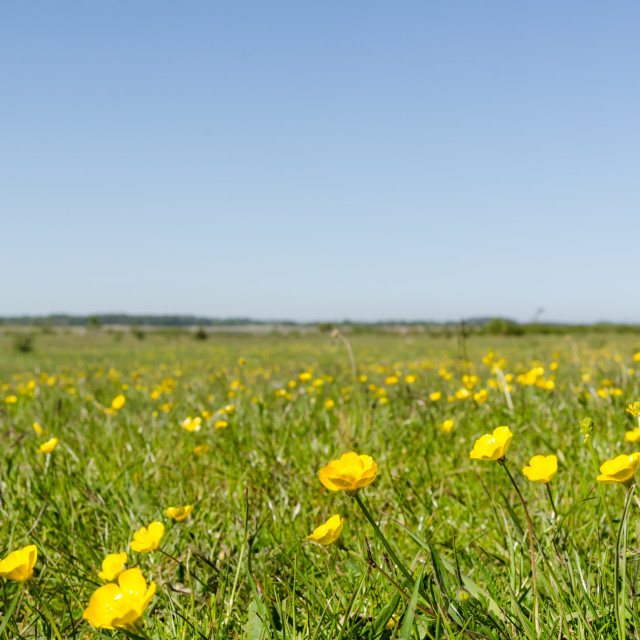 """Yellow flowers close up in a green grassland by springtime"" stock image"