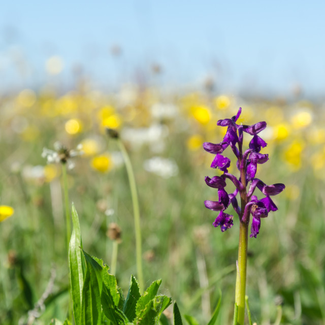 """Spring season flowers with a wild growing orchid in a ground lev"" stock image"