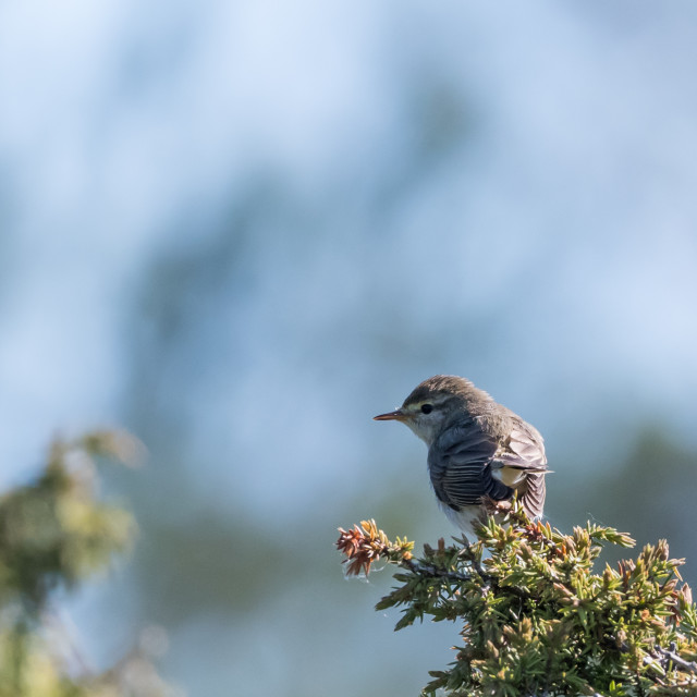 """Small songbird, Lesser Whitethrout, on a juniper twig"" stock image"